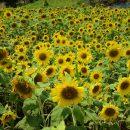 志摩観光農園の「ひまわり」を見てきたよ!